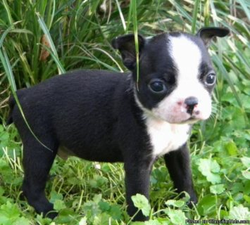 Afectionate Boston Terrier Puppies For Sale