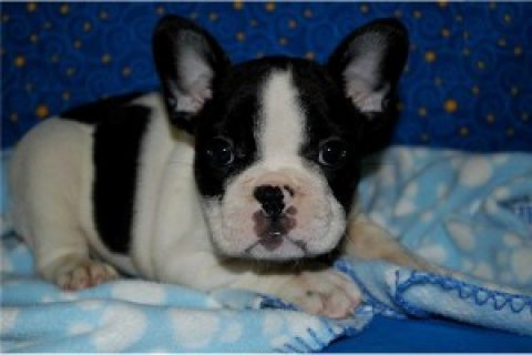 ealthy and Cute French Bulldogs for Adoption..