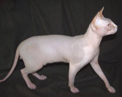 Cute male and female Two Sphynx kittens for sale