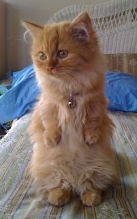 Cute Munchkin Kittens For Sale
