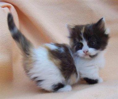 Munchkin Kittens for New Homes For Sale