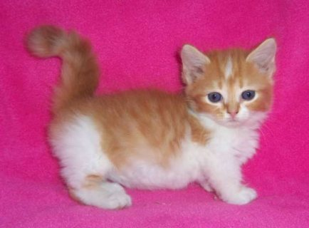 Gorgeous Munchkin Cats For Sale