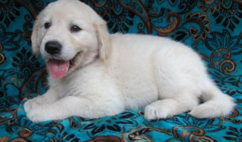Female Golden Retriever puppies for sale .