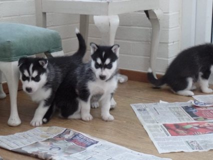 Siberian husky Puppies Ready for sale