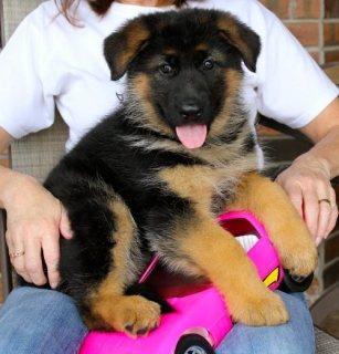 Good looking German Shepherd good looking for sale