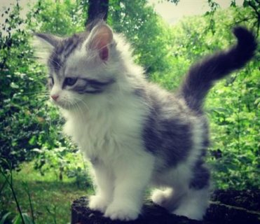 Home Raised Maine Coon Kittens  For Sale