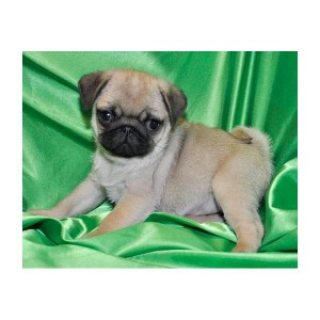 Pug Puppies Ready for any pet loving home