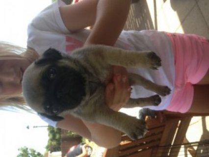 Adorable Pug Puppies with Friendly Personalities