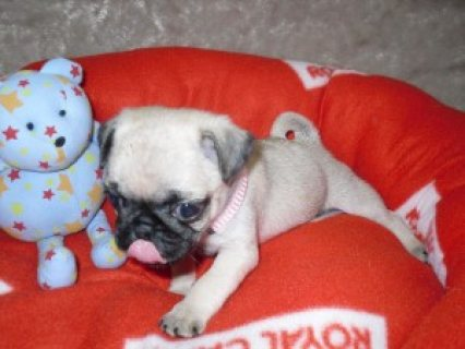 intelligent purebred Pug puppies available for adoption.