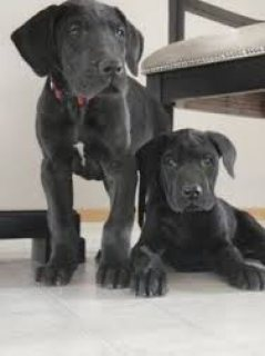 صور  well trained Two Great Danes puppies 1
