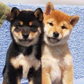 Shiba Inu Puppies & Young Adults, AKC Champion Lines,