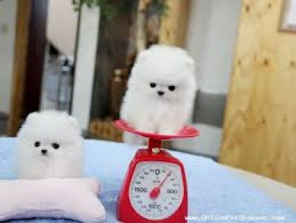 Two Awesome T-Cup Pomeranian Puppies Two Awesome T-Cup Pomerania