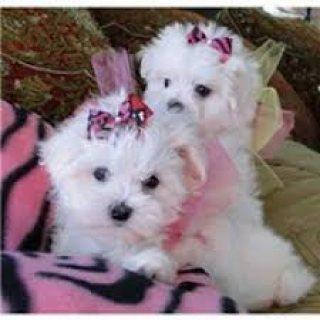 Teacup puppies maltese