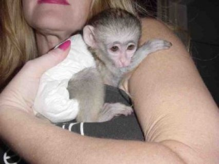 Male and Female Capuchin monkeys for adoption