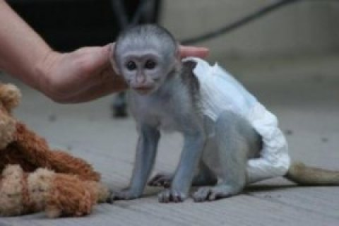 adorable capuchin monkeys for your home.