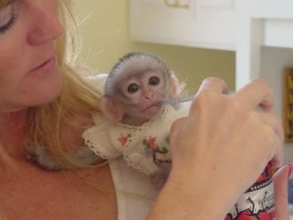 Healthy white faced capuchin monkies for adoption