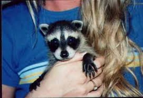 Baby Raccoon cubs kits for Sale