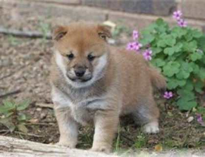 Inspirational Shiba Inu Puppies READY FOR ADOPTION