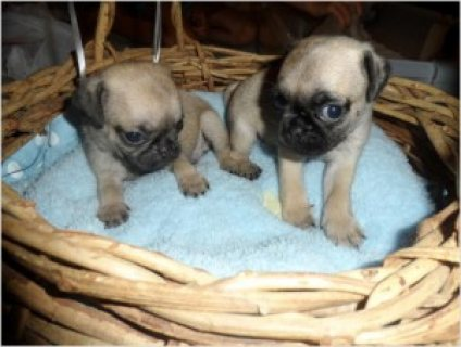 Pugs! Pugs!AKC Reg/ Healthy/Socialize Pugs Puppies !