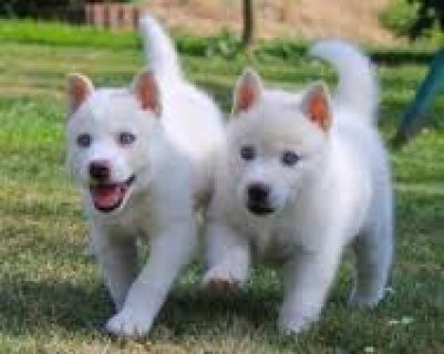 Akc Pure Breed all white Siberian Husky Puppies.