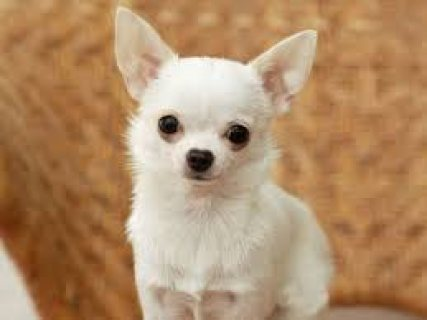 صور Adorable & Tiny Chihuahua Puppy for Sale 1