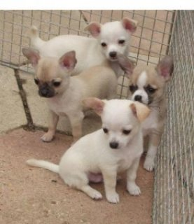 smooth coat chihuahua, excellent 5 generation pedigree