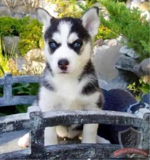 Blue eyes Siberian husky puppies,both male & female available no