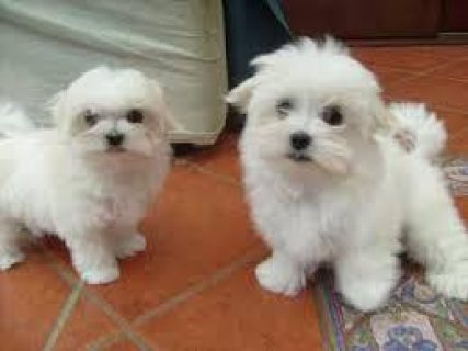 Home trained Teacup Maltese puppies available.