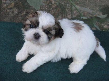 AKC Gorgeous Shih Tzu Puppies