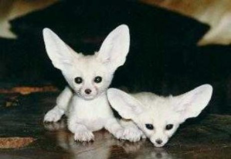 Male and Female Fennec Fox For Adoption
