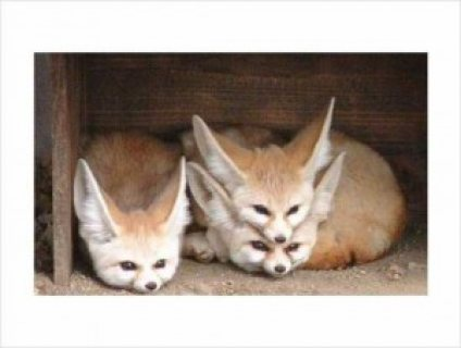 Adorable Fennec Fox for Adoption