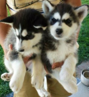 We have available Siberian Husky puppies and they are all 12 wee