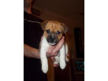Lhasa apso x Jack russel puppies for sale