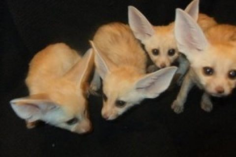 fennec fox for sale         fennec fox for sale fennec fox for s