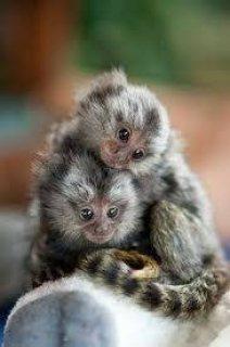 Tamed Marmoset Monkeys