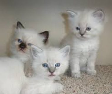 GCCF Registered Full Pedigree Ragdoll male kitten for sale.