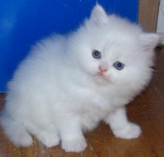 We have beautiful, healthy Persian kittens We have beautiful, he