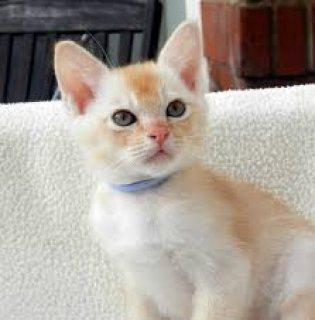 Here we have the last 4 of Burmese cross Kittens -