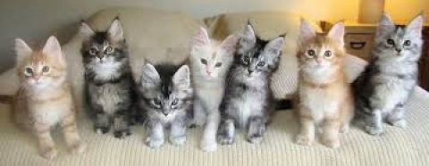 VET checked and are up to date Maine Coon Kittens for Adoption