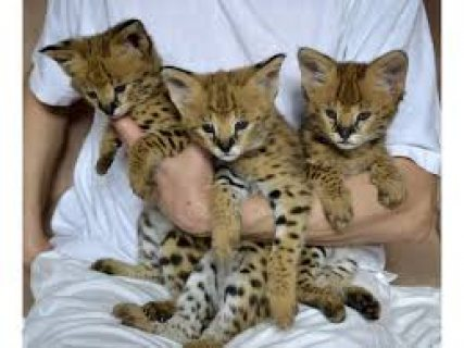 We have very healthy, tamed and gorgeous Serval kittens.