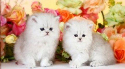 wonderful Persian kitten females