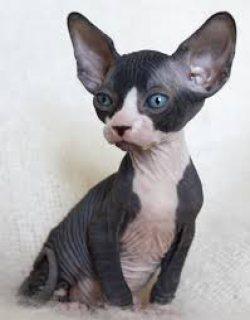 Pure Bred sphynx kitten