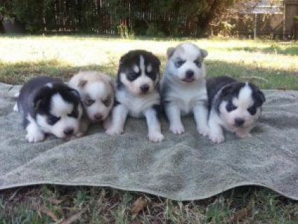 Purebred Siberian Husky Puppy For Sale