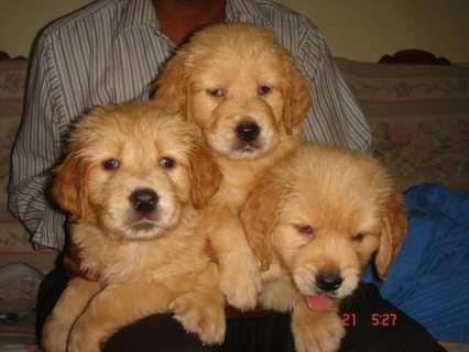Very Sweet Charming Golden Retriever Puppies For Sale