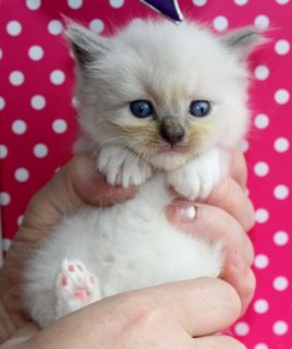 Adult male Ragdoll cat for sale