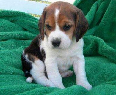 Beautiful Adorable Beagle Puppies