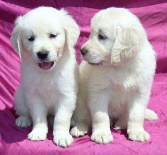Golden Retriever Puppies for