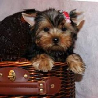 Adorable Cristmas male and female Teacup Yorkie