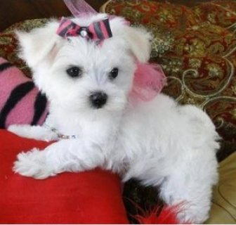 Lovely Maltese puppies for sale- Xmas Maltese