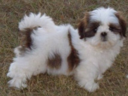 trained male and female Xmass Shih Tzu puppies